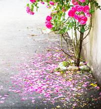 Опавшие лепестки розы